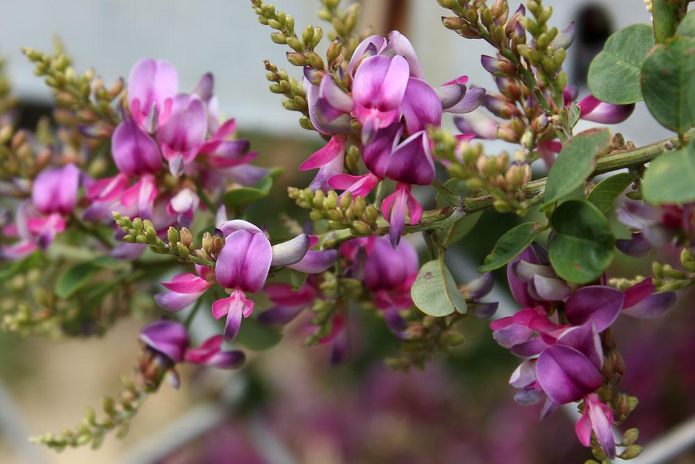 仙台市の花 萩